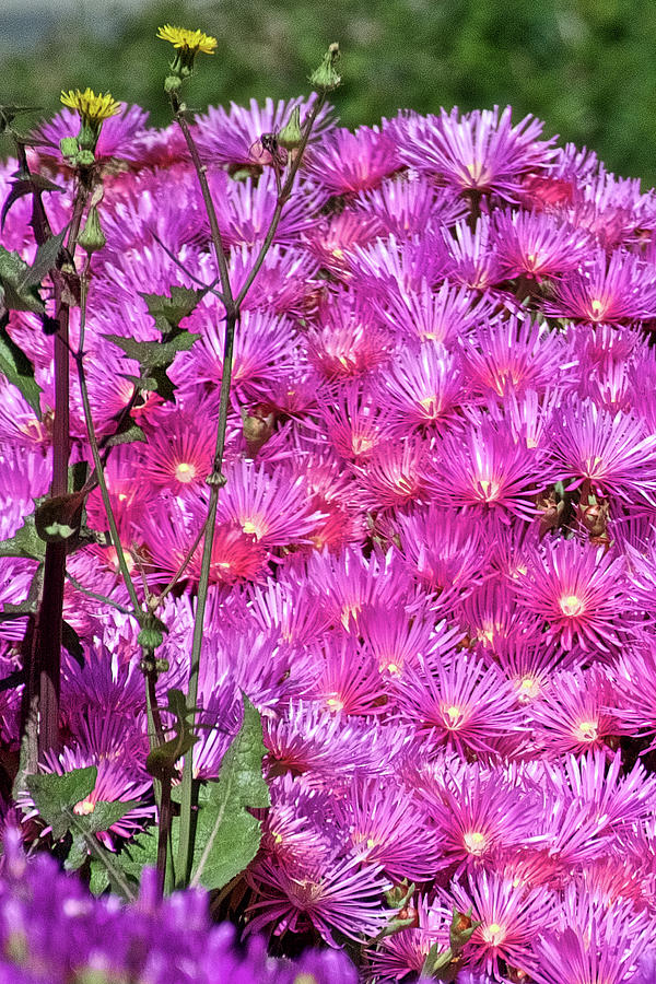 Pink Ice Plant at Saint Lukes Lutheran Church in Claremont, California  by Ruth Hager