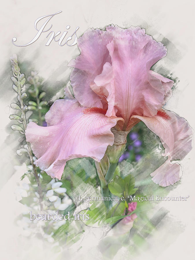 Pink Iris Graphic by Mark Mille