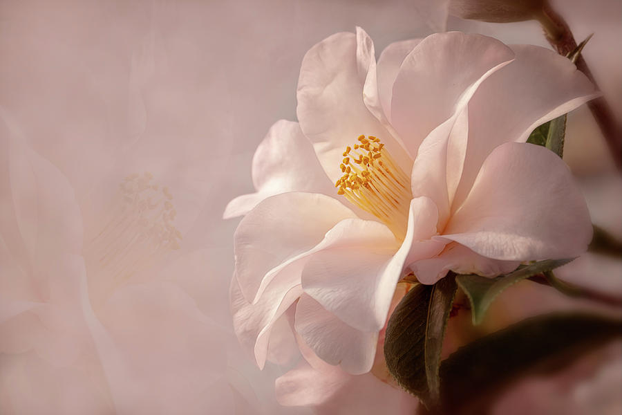 Pink Japanese Camellia by Mary Jo Allen