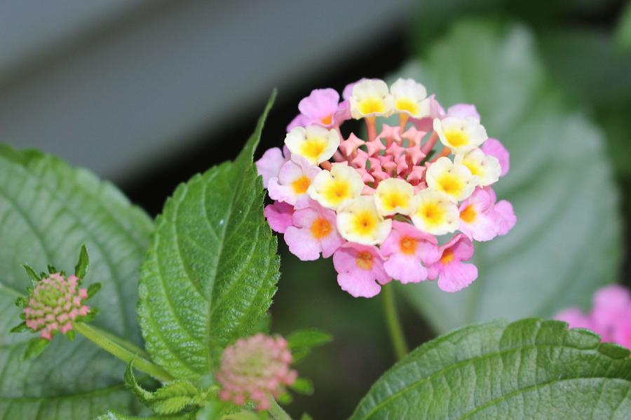 Pink Lantana by Christopher Lotito