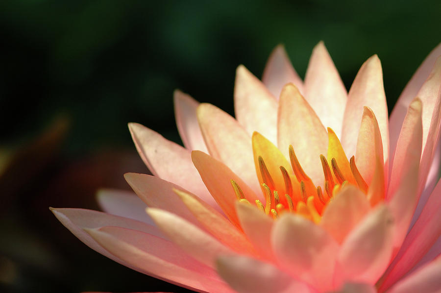 Pink Lotus Photograph by Pailoolom