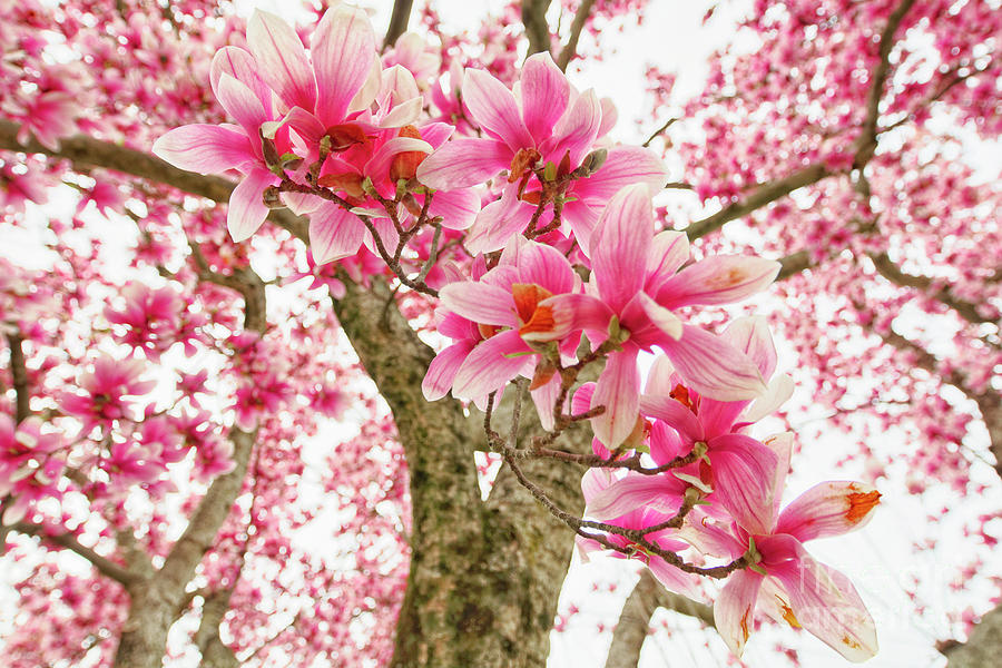 Pink Magnolia Tree Bloom Photograph By George Oze
