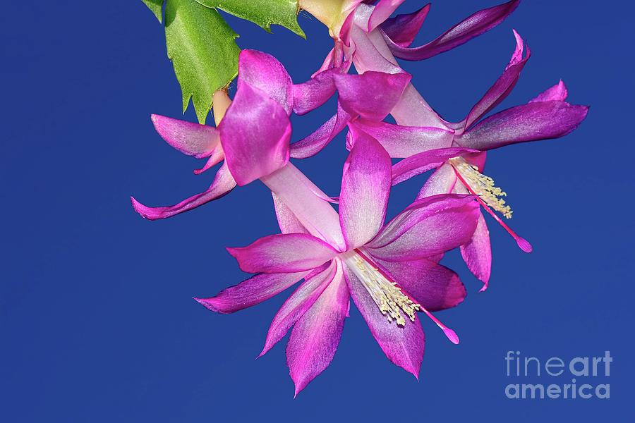 Pink on Blue by Kaye Menner by Kaye Menner
