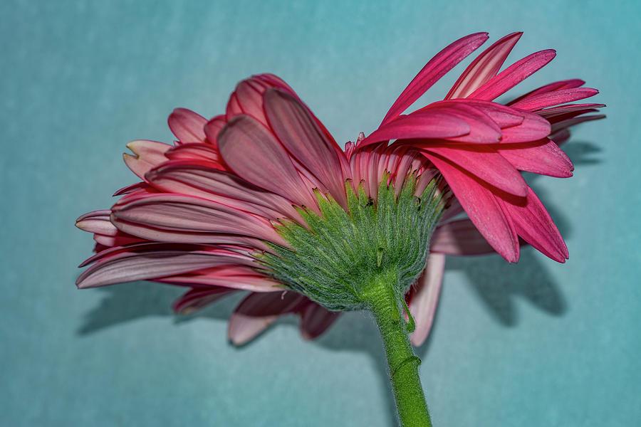Pink on Blue by Cathy Kovarik