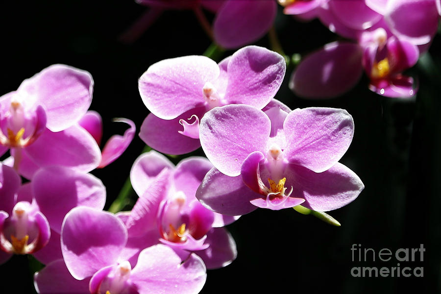 Pink Orchids On Black by Diann Fisher