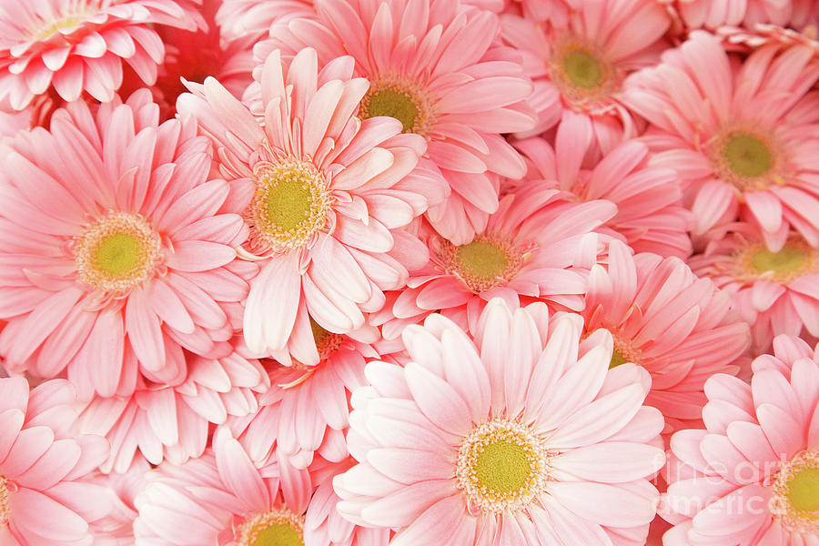 Gerberas Photograph - Pink Palette by Marilyn Cornwell