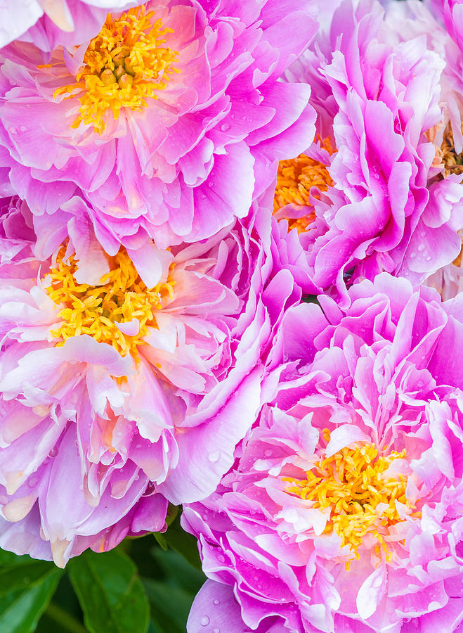Pink Peonies by MICHAEL LUSTBADER