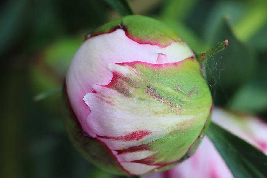 Pink Peony Bud by TJ Fox