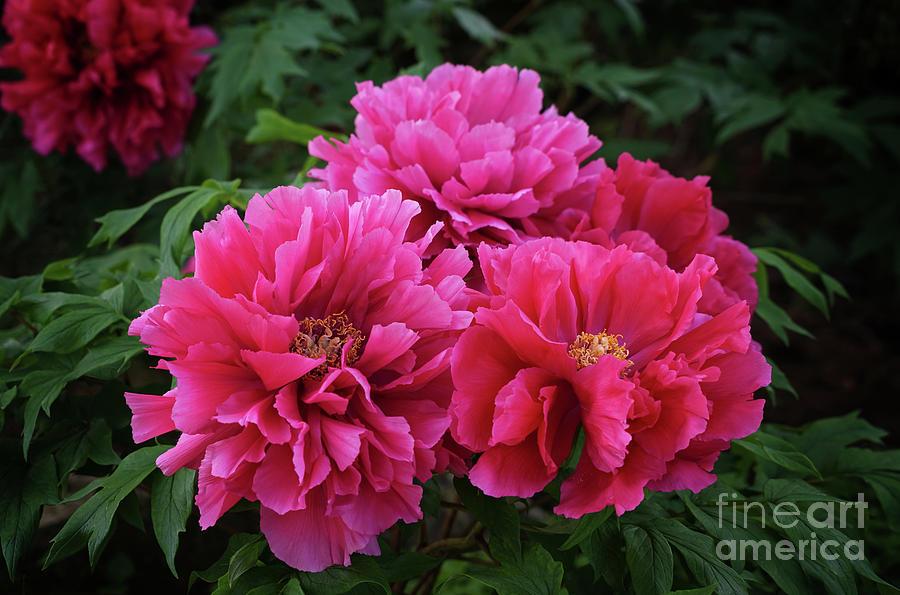 Pink Peony Cluster by Rachel Cohen