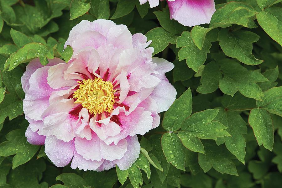 Pink Peony by Garden gate magazine