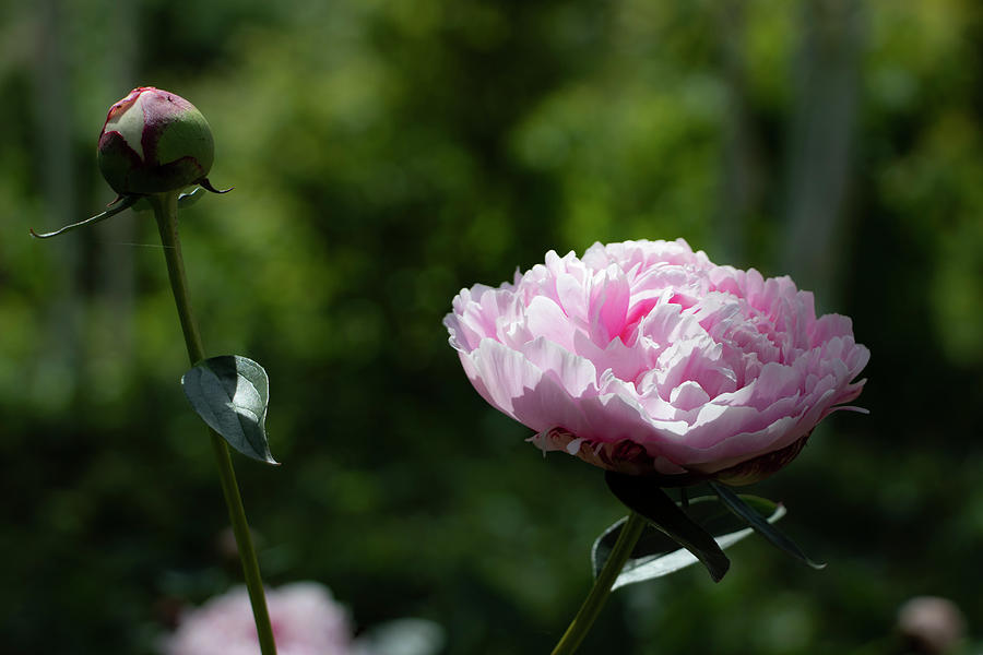 Pink Peony by Mariella Wassing