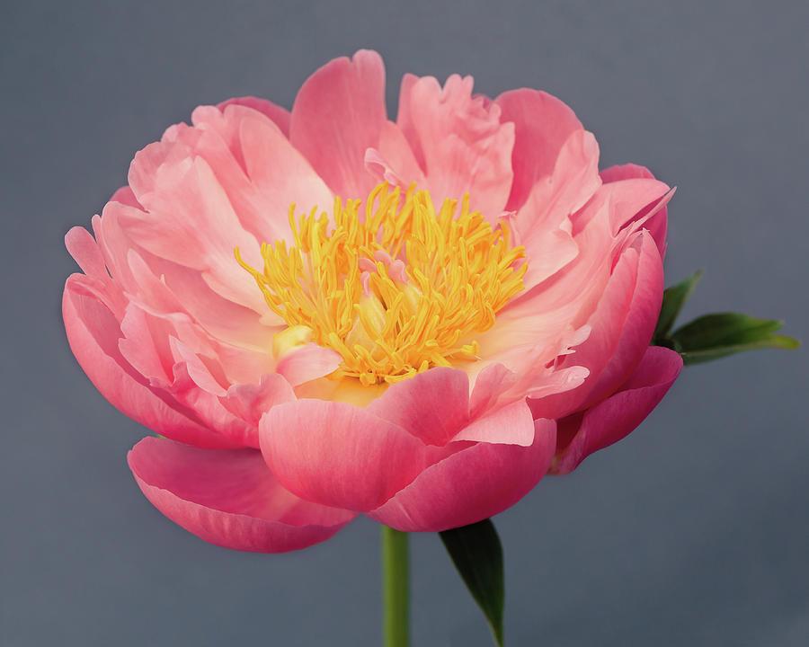 Pink Peony No. 19 by Allison Trentelman