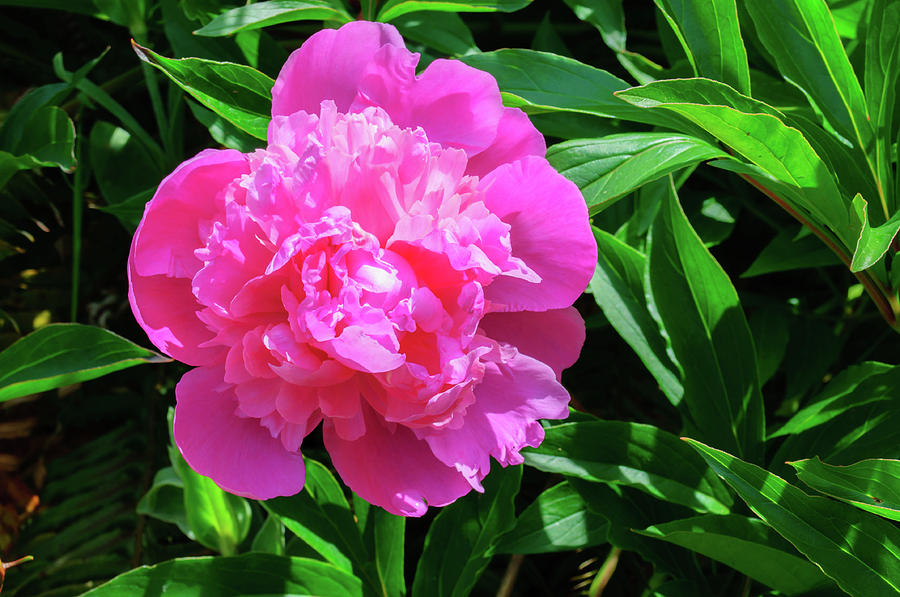 Pink Peony by Tikvah's Hope