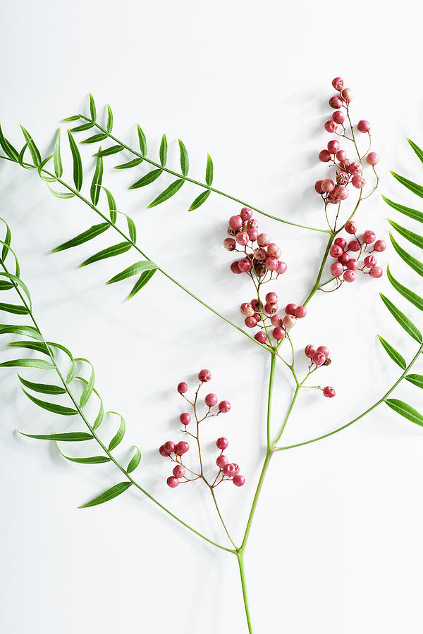 Pink Peppercorn Branch On White Photograph by Amy Neunsinger