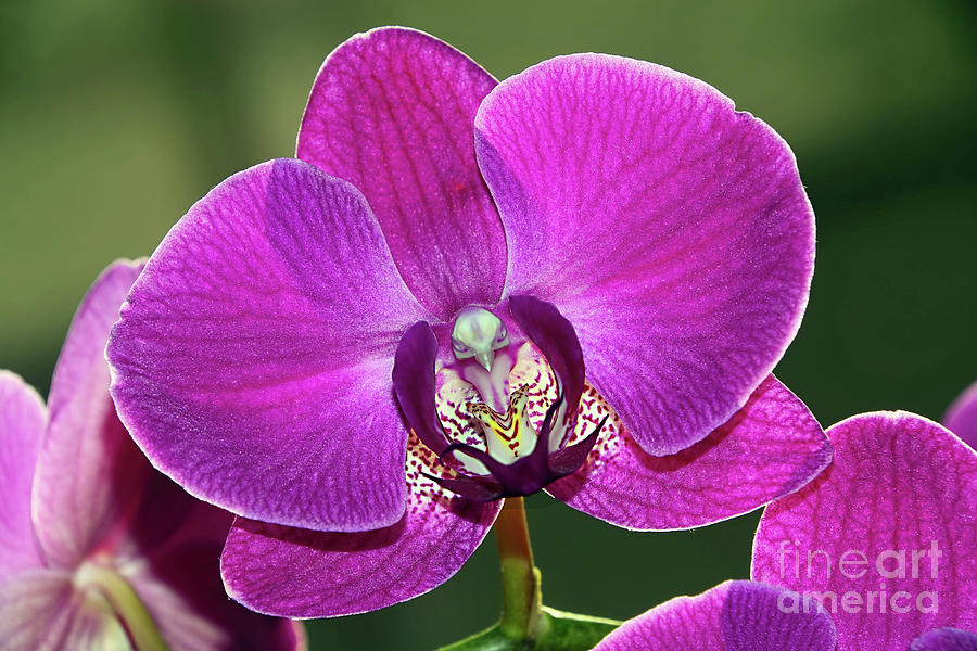 Pink Phalaenopsis Orchid with Bird by Kaye Menner by Kaye Menner