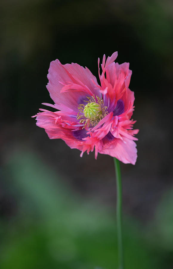 Pink Poppy by Dale Kincaid