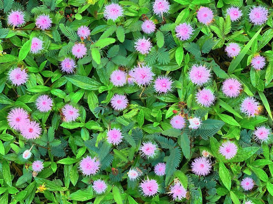 Pink Powder puffs by Sean Davey