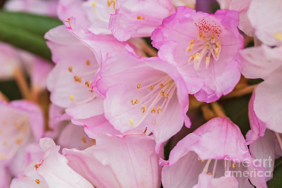 Pink Rhodedendron flowers by Sophie McAulay