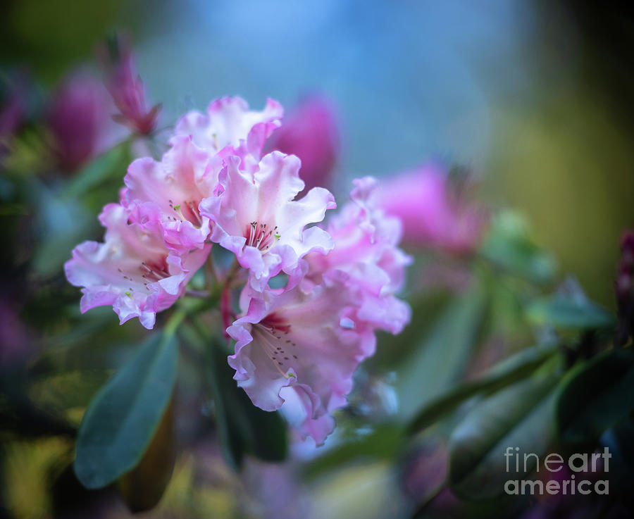 Pink Rhododendron Flourish by Mike Reid