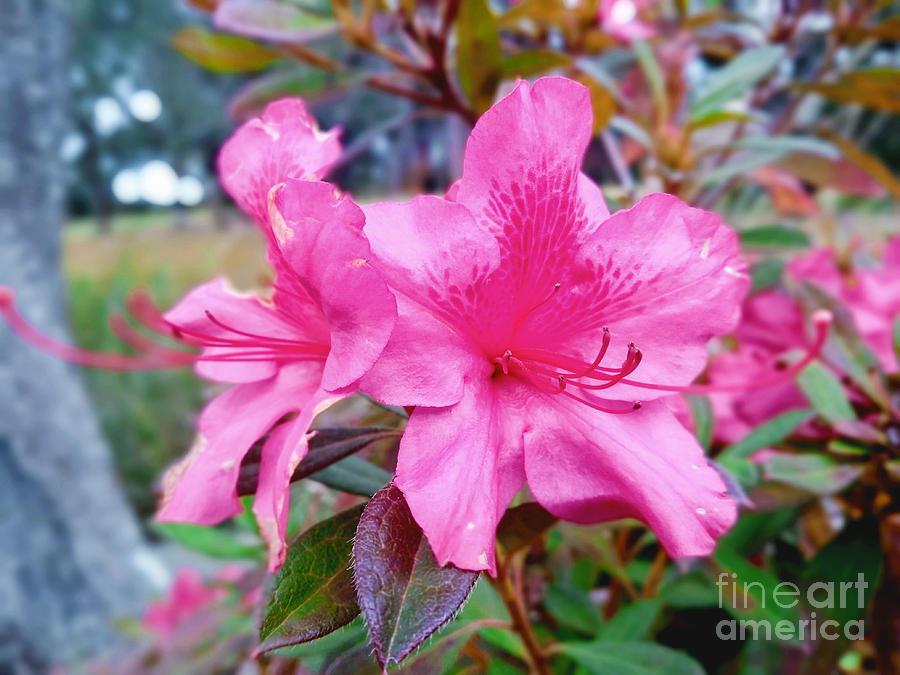 Flower Photograph - Pink by Robert Knight