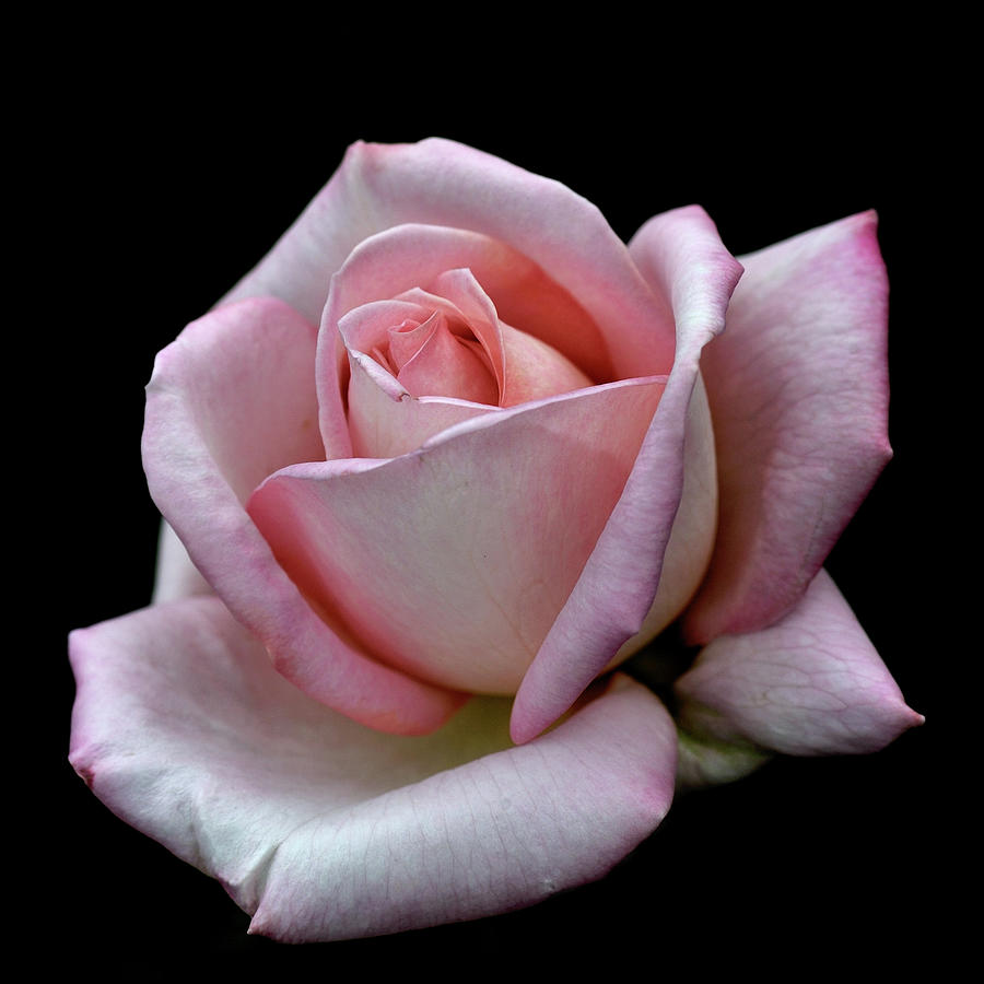Pink Rose Photograph by I Love Photo And Apple.