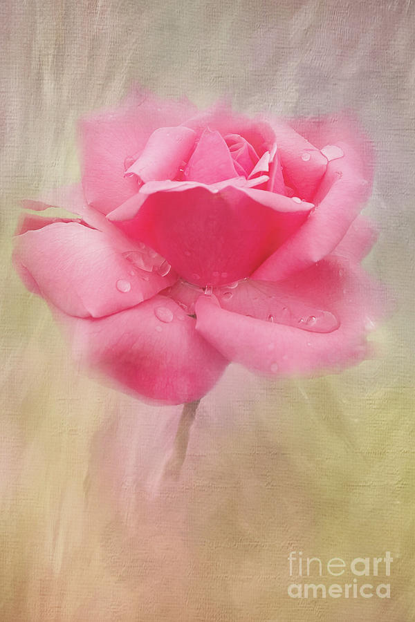 Pink Rose In The Rain by Sharon McConnell