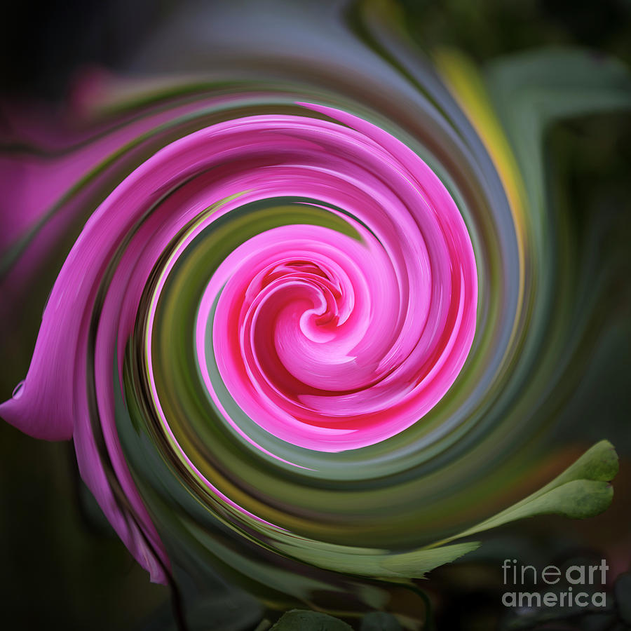 Pink rose swirl by Agnes Caruso