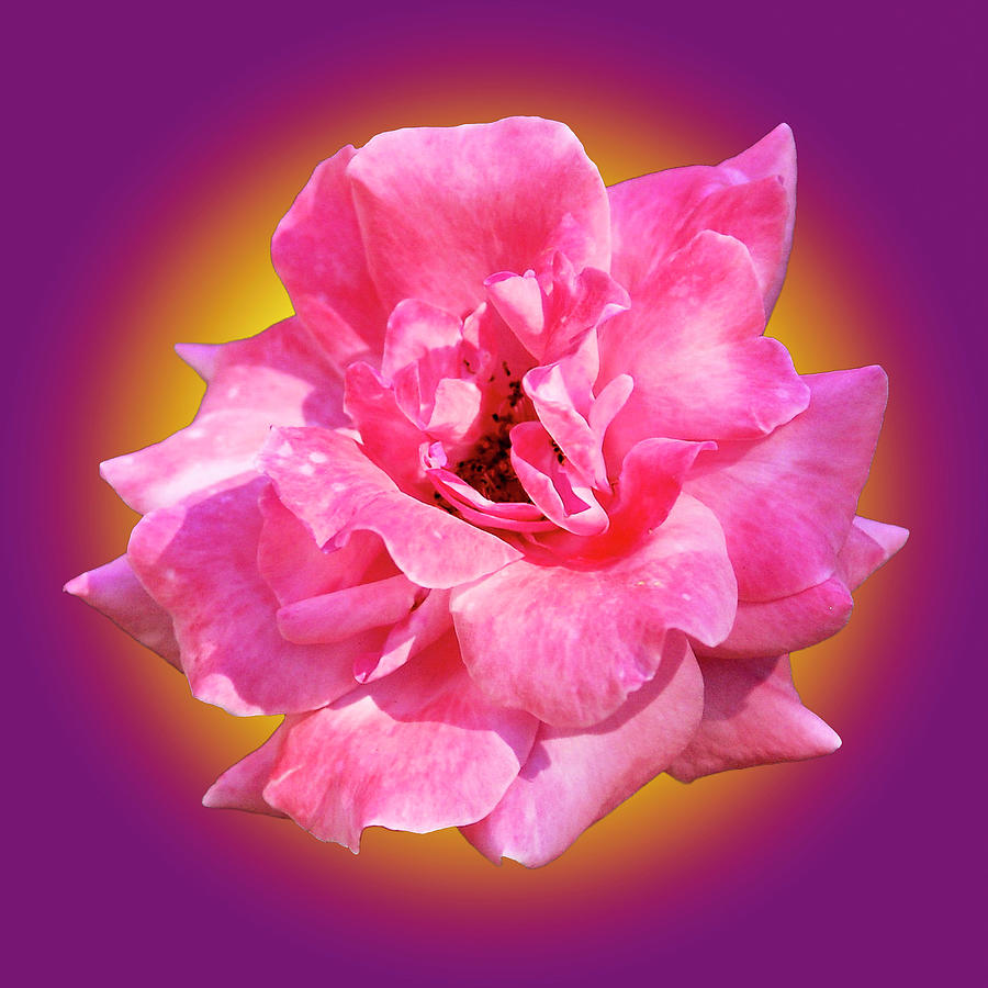 Pink Rose With Background by Howard Bagley