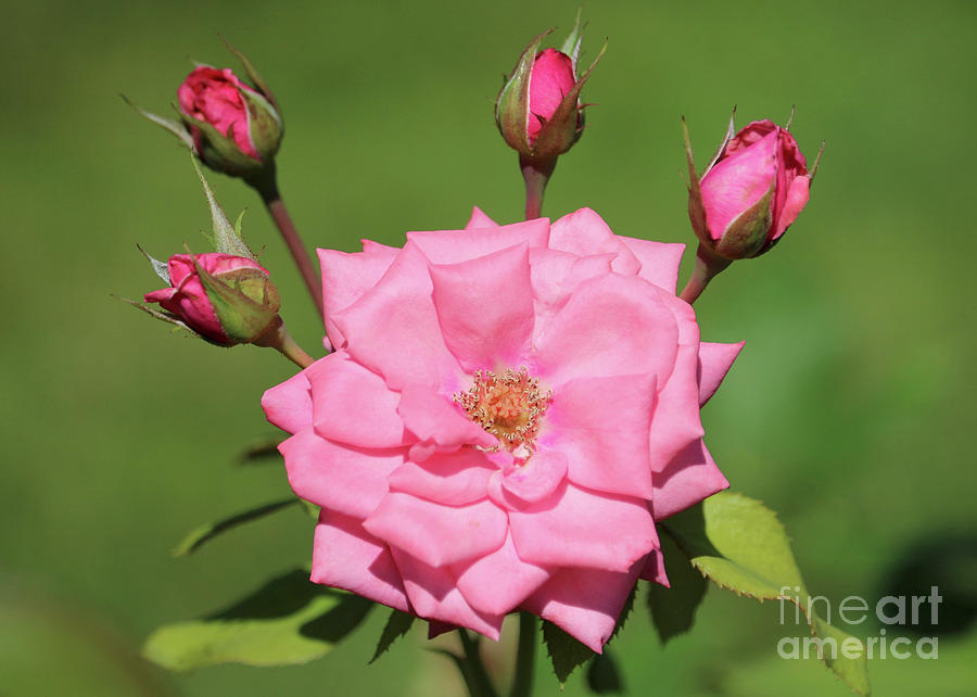 Pink Rose with Four Buds by Carol Groenen
