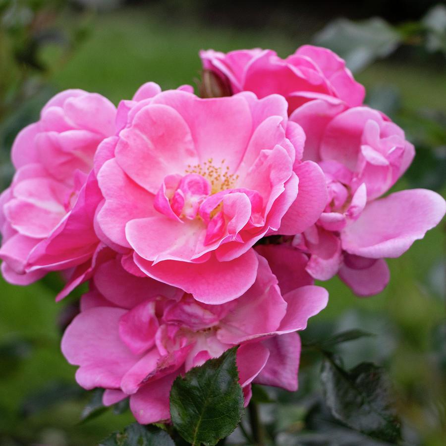 pink roses by Mariella Wassing