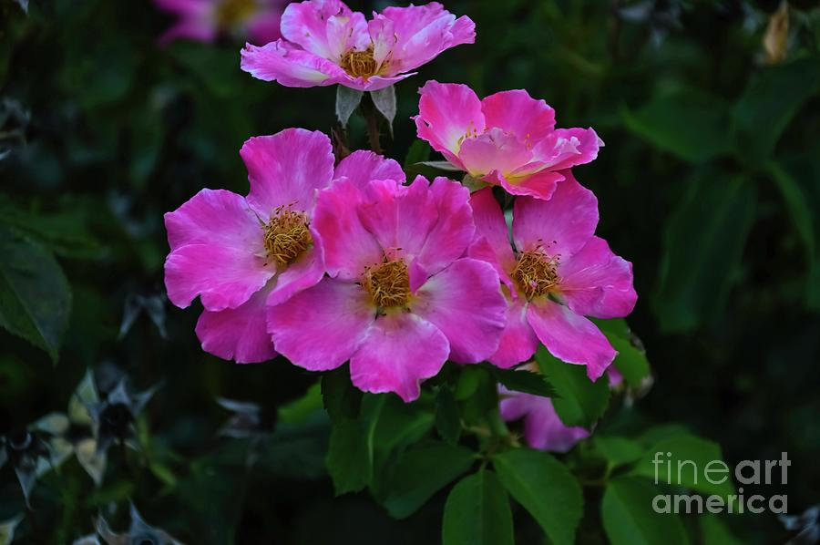 Pink Rugosa by Diana Mary Sharpton
