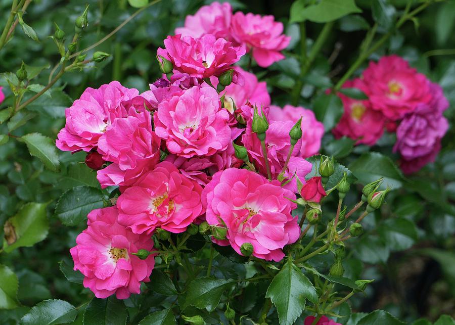 Pink Shrub Rose by Jason Fink