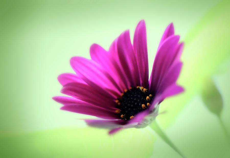 Pink Spanish Daisy On Light Green by Johanna Hurmerinta