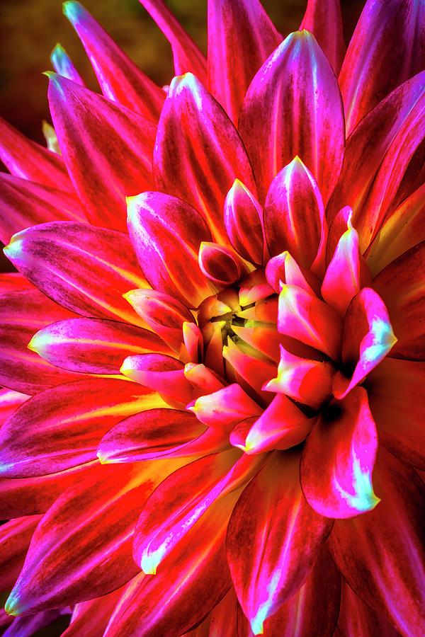 Dahlia Photograph - Pink Spider Dahlia by Garry Gay