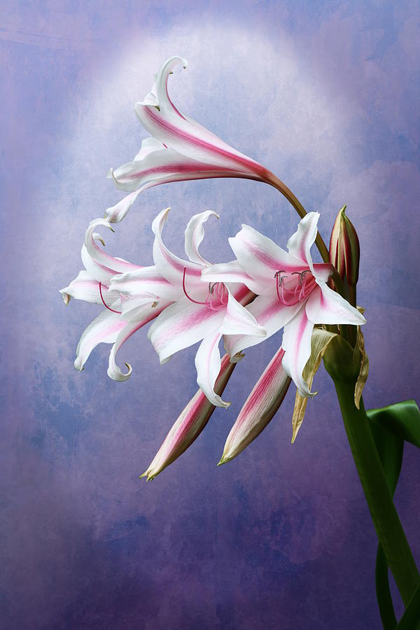 Pink Striped White Lily Flowers by Debi Dalio