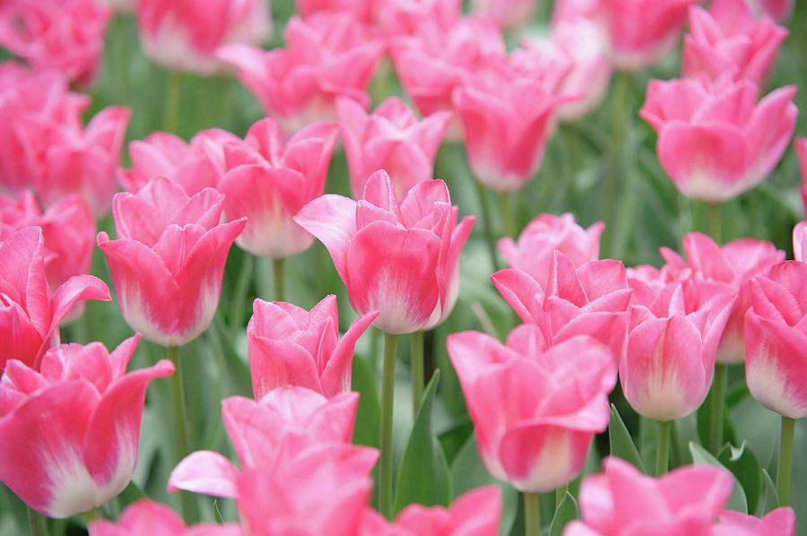 Pink Triumph Tulips Innuendo by Jenny Rainbow