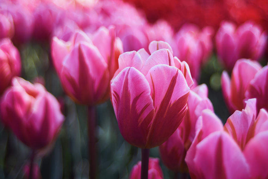 Background Photograph - Pink Tulip by Lukas Kerbs