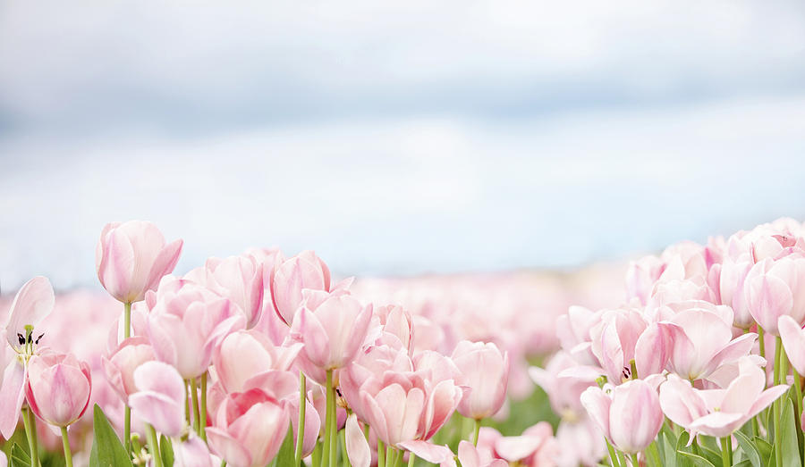 Pink Tulips in Field by Rebecca Cozart