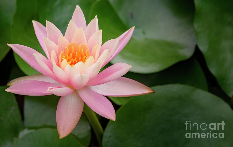 Pink Water Lily by Debra Fedchin