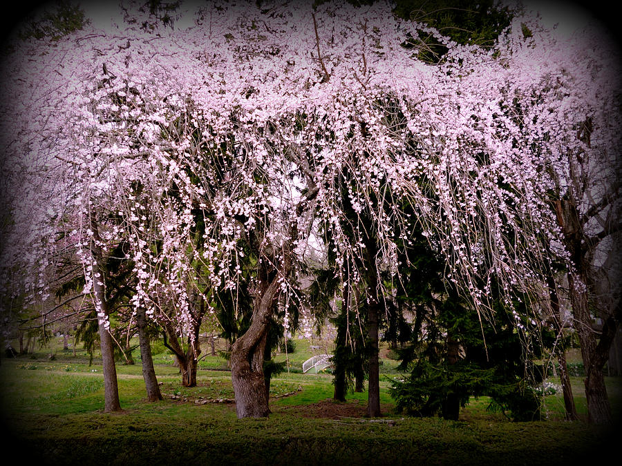 Pink Weeping Cherry Canopy by Michael McBrayer
