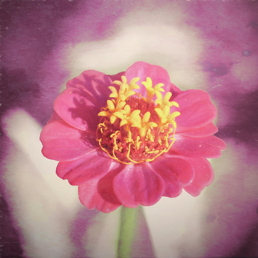 Pink Zinnia Isolated by Jason Fink