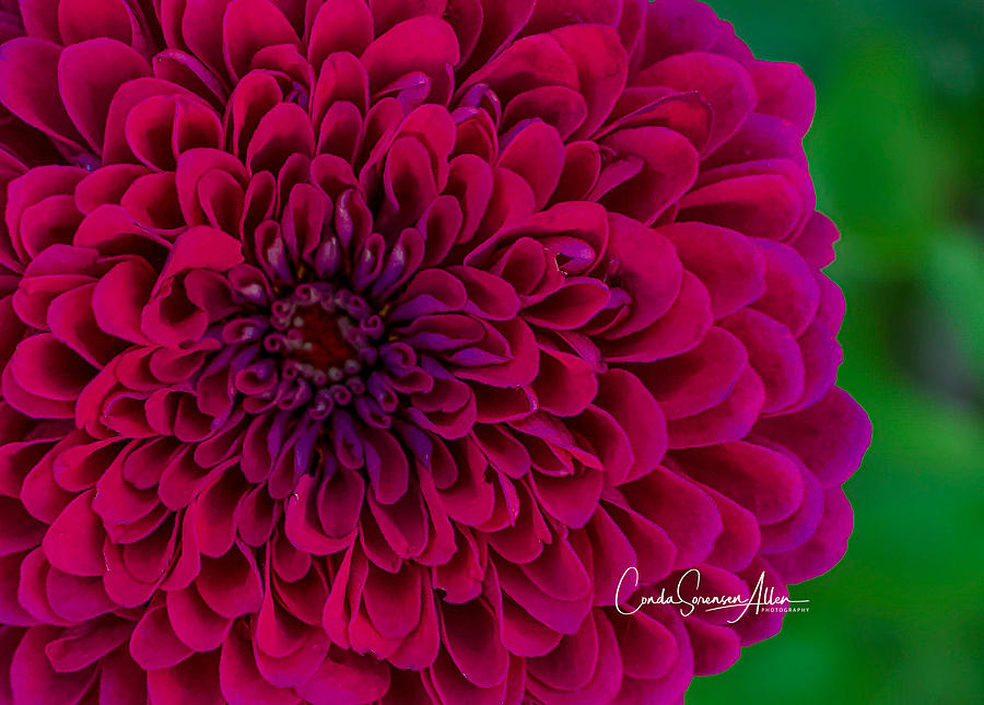 Zinnia Photograph - Pinked Zinnia by Connie Allen