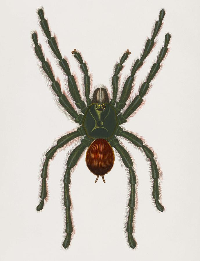Pinktoe tarantula  Mygalomorphae  illustrated by Charles Dessalines D Orbigny  1806 1876  by Celestial Images