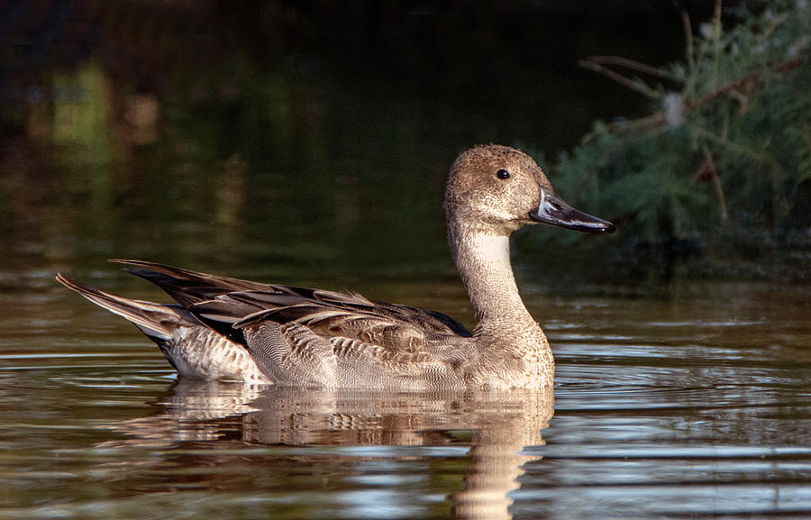 Pintail Duck 2090-102019 by Tam Ryan