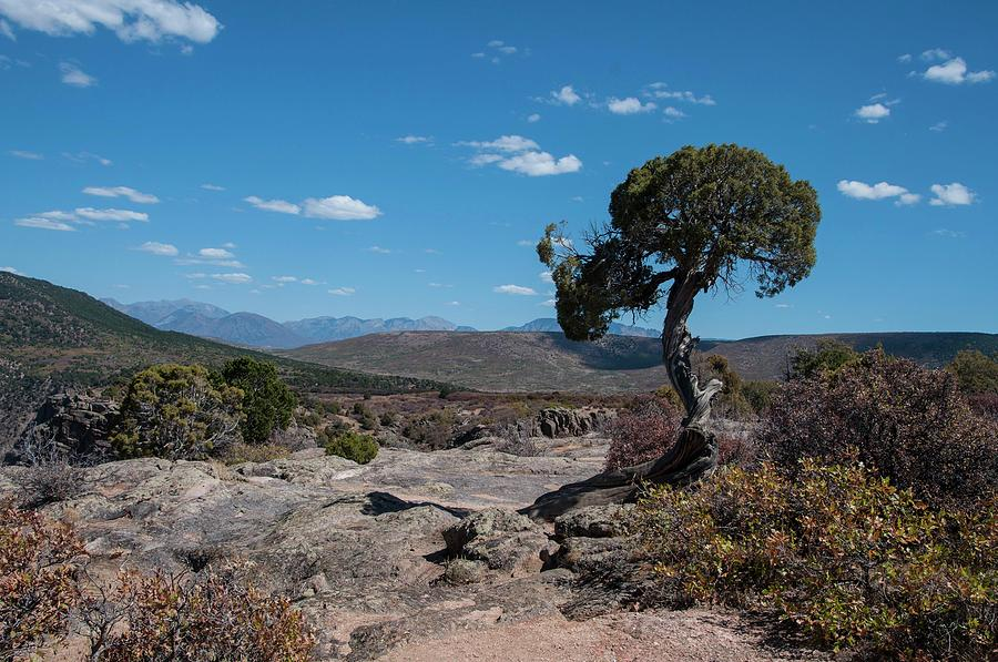 Pinyon Pine with North Rim in background Black Canyon of the Gunnison by NaturesPix