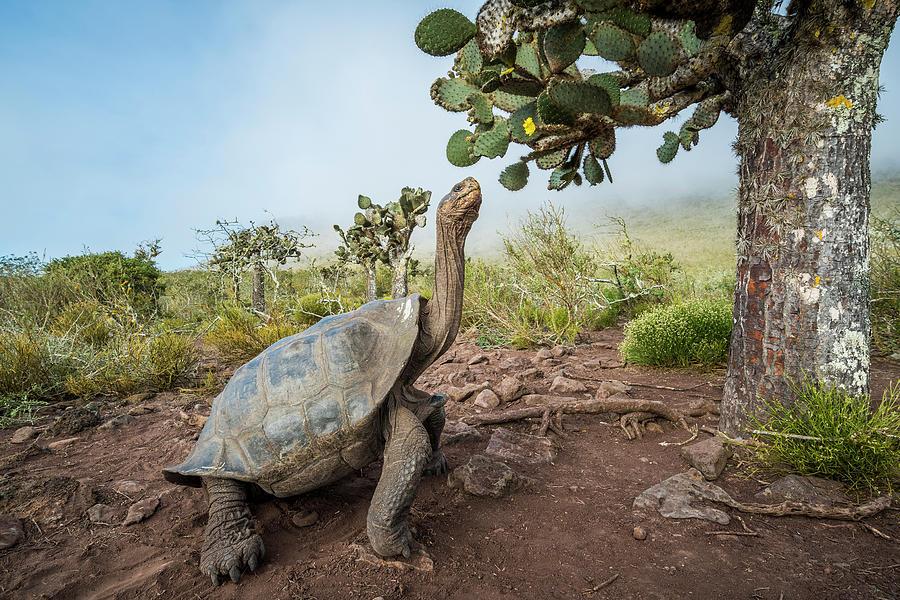 Pinzon Island Tortoise Browsing Opuntia Photograph by Tui De Roy