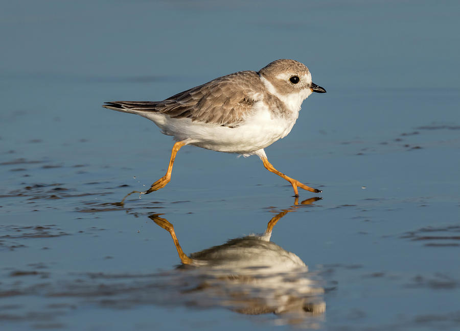 Piping Plover Charadrius Melodus Running by Ivan Kuzmin