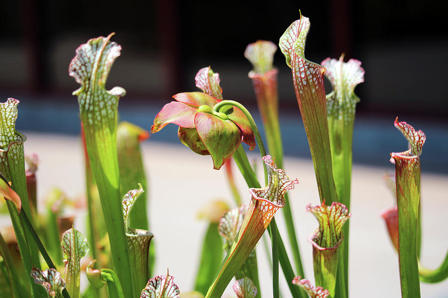 Pitcher Plants by Cynthia Guinn