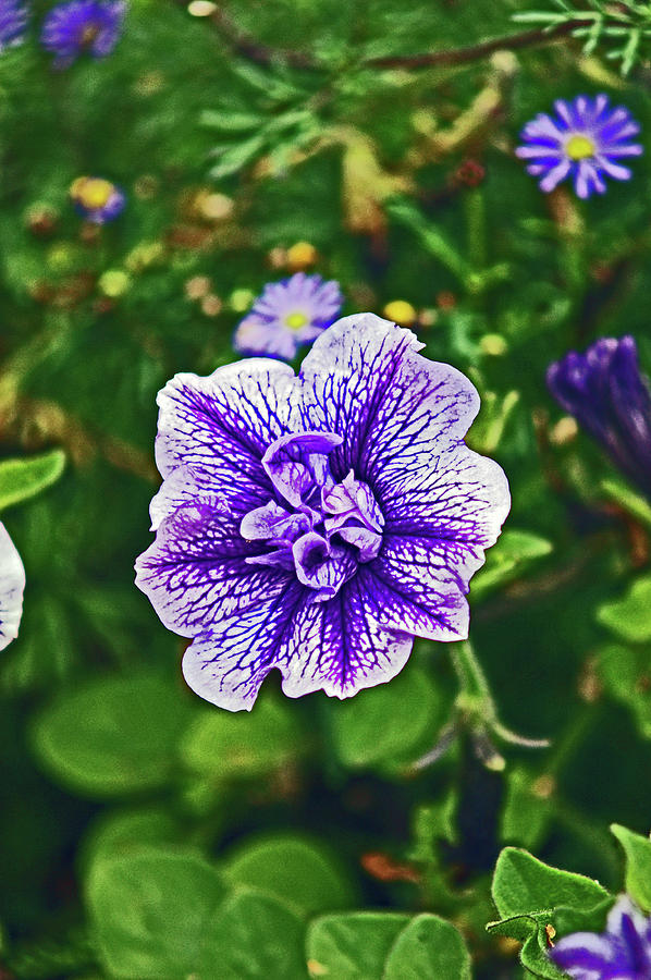 PITLOCHRY.  Purple Petunia. by Lachlan Main