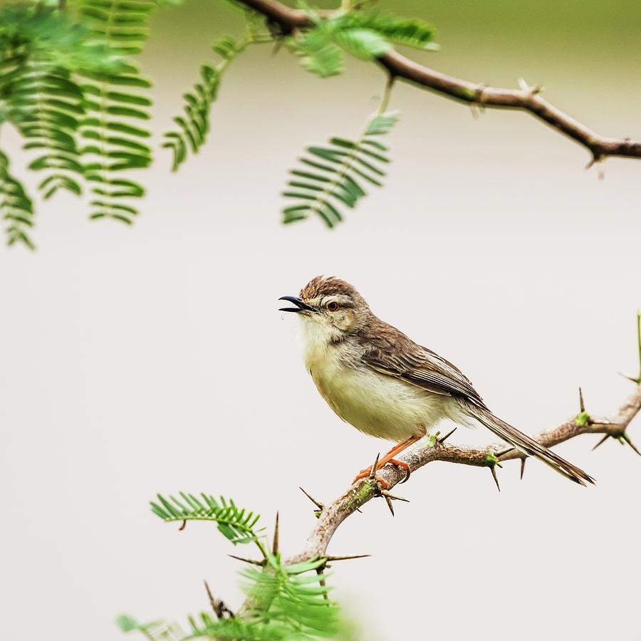 Plain prinia by Vishwanath Bhat
